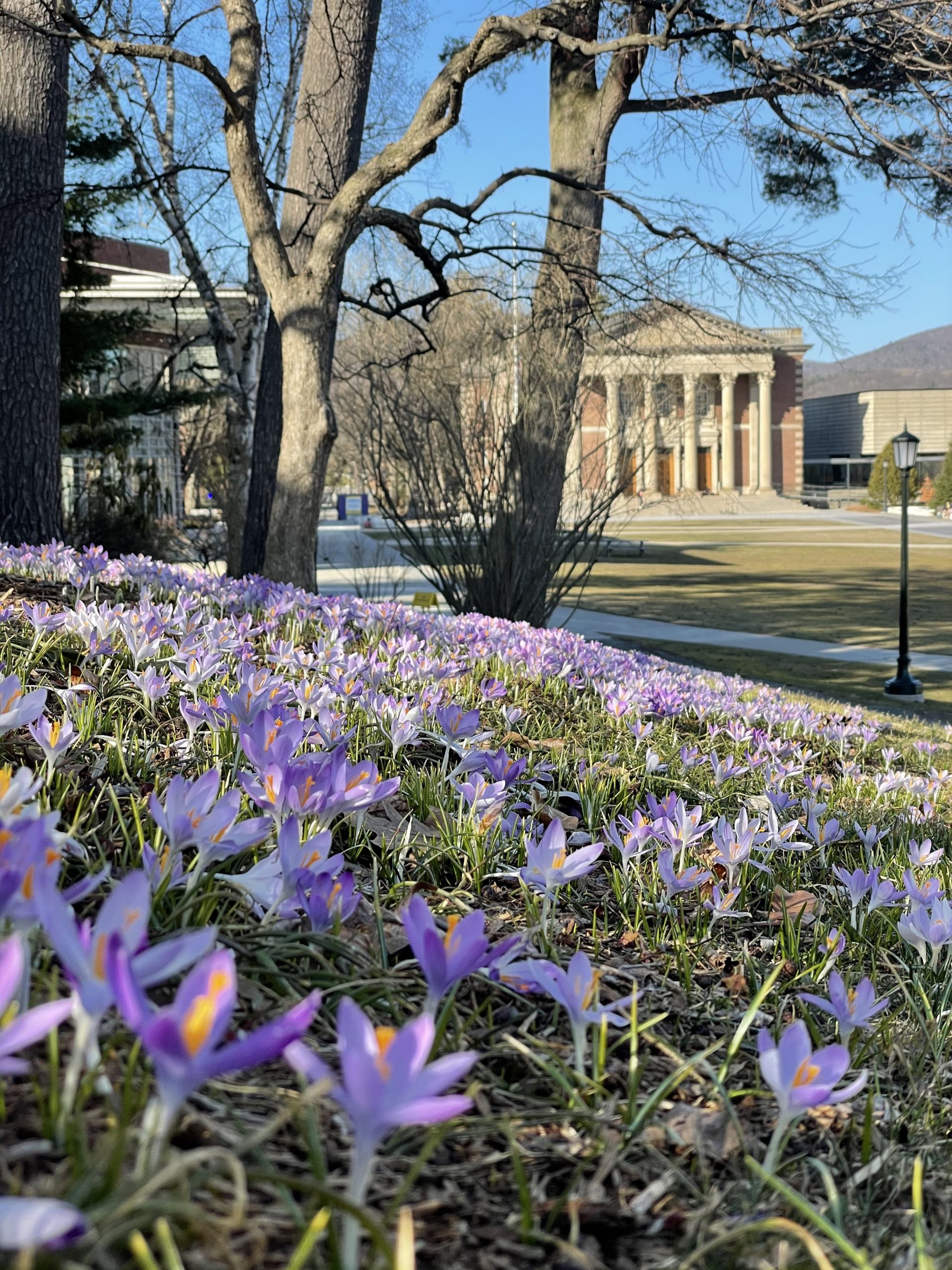 a photo with a field of crocuses in the foreground and Chapin Hall in the background in the early spring